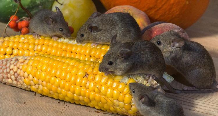 הדברת עכברים בחיפה